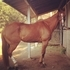14 Yr Expeienced Barrel Racing Gelding
