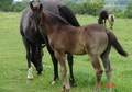 Blue Roan colt with Black head