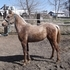 Sweet Golden/Chocolate Palomino Morgan Filly