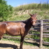 8yr old brown mule for sale.
