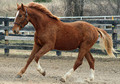 2013 TALL & Big Bodied Purebred Irish Draught Colt