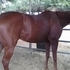 DRESSAGE PROSPECT, YOUNG, SOUND, NEVER RACED TB Gelding