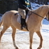 Gorgeous 15.3h Palomino Gelding Hunter Jumper