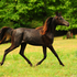 PRICE REDUCED Black straight Egyptian Arabian filly