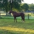reg. 4 yr old thoroughbred gelding