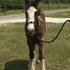 Flashy Gypsy Vanner Colt