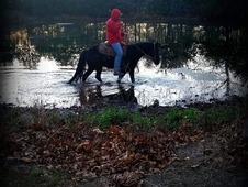 Gorgeous 4 Yr Old Trail Gelding For Sale