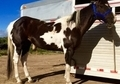 Trail Horse 14.2  11 years Flashy Black and White