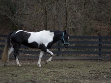 Beautiful 6 year old mare