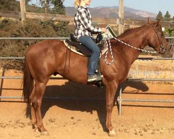 Solid Chestnut Paint Gelding for Sale or Trade