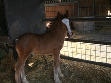 Outstanding Bay Gypsy Colt