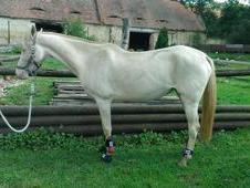 Gorgeous 2009 Akhal-Teke for loving homes