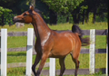 Supberbly Pedigreed Arabian Mare