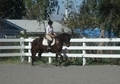 Willing, Brave contender 3 day eventer