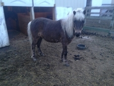 Dapple Pony Gelding