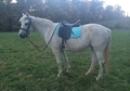 Large Welsh Pony (14.2) Pony Club Mount & Foxhunter