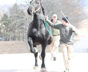 Registered Percheron gelding