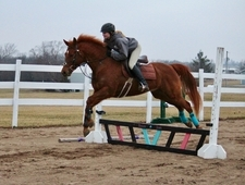 Showjumper Eventer Prospect