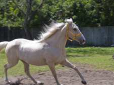 11 yr old Tennessee Walker/Kentucky Mountain Registered Mare 14. ...