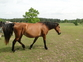 Double Agoutti Broodmare for sale