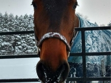 Beautiful Warmblood Gelding