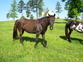Homozygous Black Broodmare for sale in United States of America