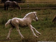 Beautiful Palomino Gypsy Colt Available on Payments!