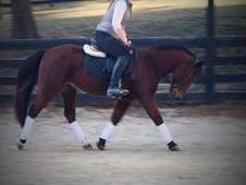 14 hh QH type pony