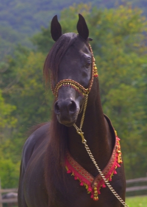 Egyptian Arabian, German Import, Homozygous Black, Clean Pedigee - A gentle, loveable beauty!