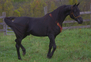 Egyptian Arabian, German Import, Homozygous Black, Clean Pedigee - A gentle, loveable beauty! for sale in United States of America