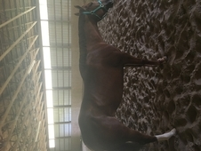 2011 AQHA Mare by A Sudden Star