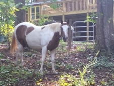Great trail horse. Very calm easy going. Loves people and great p...