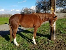 Cute little AQHA gelding