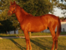 Imported Chestnut Andalusian colt
