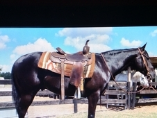 Black as Coal! Nice quiet gelding! Super cute!