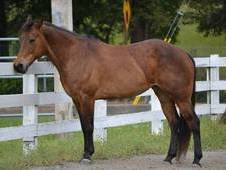Quarter Pony Mare For Lease Or Lease To Own