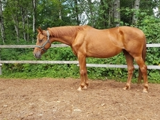 7yr old lovely premium branded oldenburg mare