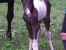 Super black & white filly by NCIS: Hollywood
