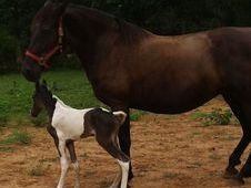 Two for one price, Super Mare with black & white filly by NCIS: H...