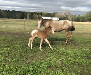 Appaloosa mare for sale with a 1 month old blanketed colt at her side