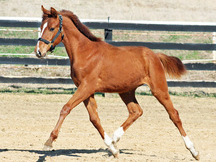 2018 Premium Oldenburg Filly by Prototype