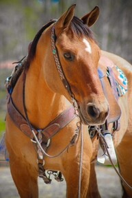 BO- Ultimate Family Horse, Anybody Can Ride! Everyone Will Love!