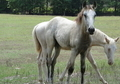 Flashy Buckskin Filly
