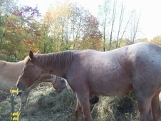 Red roan TW mare