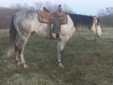 Famous, and well socialized Grey gelding Quarter horse