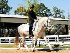 Magnificent Andalusian gelding horse for sale