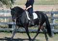 10 year old Wonderful Friesian Sporthorse Gelding