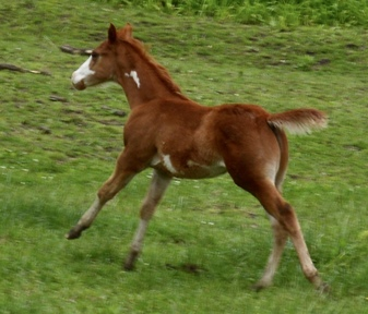 CD OLena, Gold Fingers, Doc OLena,Mr Red Paleface - Royally bred APHA Sorrel Overo filly