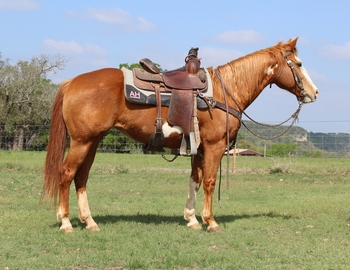 VIDEO**Gentle Flashy Family Safe Paint Mare