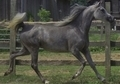 Egyptian Arabian- Big, Fancy Moving Mare in Foal!